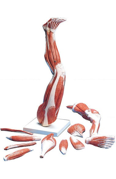 Anatomical Chart Company Muscles Of The Left Leg | allheart.com