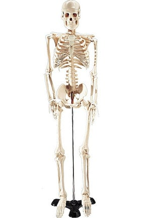 Anatomical Chart Company Mr. Thrifty Skeleton Without Stand