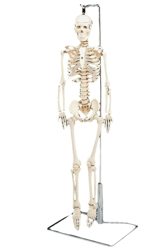 Anatomical Chart Company Flexible Mr. Thrifty Table-Size Skeleton ...