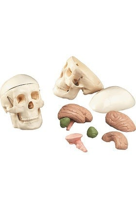 Anatomical Chart Company Mr. Thrifty Skull with 8-Part Brain