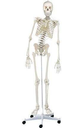 Anatomical Chart Company Physiotherapy Skeleton (Hugo)